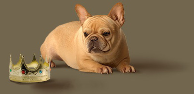 Champion French Bulldog