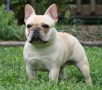 Champion French Bulldog Sire